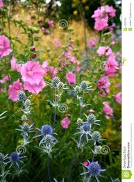 Hollyhock Flowers Garden Blue Sea Holly And Pink Hollyhock Flowers Stock Photo
