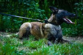 belgian shepherd uk belgian ring sport dog walking harness and anti pull harnesses