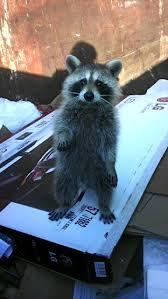 raccoon stuck in dumpster gets rescued by bearded good samaritan