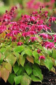 epimedium grandiflorum circe ds5 7722 via www studiogblog