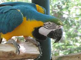 blue and gold macaw facts blue and gold macaw habitat u0026 diet