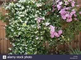 star jasmine trachelospermum jasminoides with lilac clematis