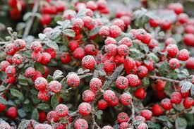 fleurs vivaces rustiques haie quels arbustes résistent à des températures de 20 c