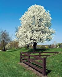ornamental pear gammon s garden center landscape nursery