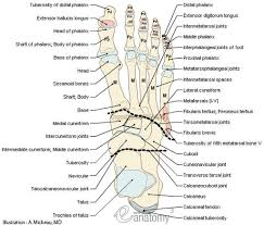 Ankle Anatomy Ligaments Lateral Ankle Anatomy Ligaments Human Anatomy Body
