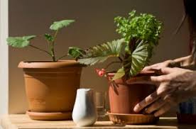 watering houseplants with brown tips of leaves lovetoknow