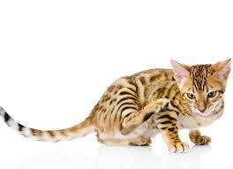 skin disease due to food allergies in cats petmd