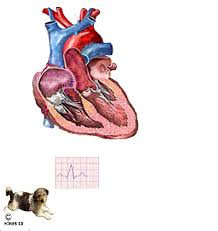 Dog Anatomy Heart Congestive Heart Failure Your Dog Chf And The Mitral Valve