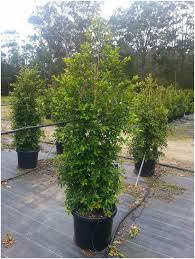 sweet viburnum 200mm pot viburnum backyards superb syzygium backyard bliss syzygium backyard bliss