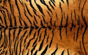 tiger pictures to print free coloring pages on art coloring pages