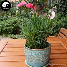 dianthus flower 2018 buy carnations flower seeds plant dianthus caryophyllus