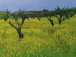 Flowers Salinas - mustard plant and condiment britannica com