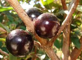brazil native plants jabuticaba wikipedia