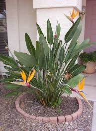 birds of paradise flowers growing the tropical bird of paradise flower in arizona
