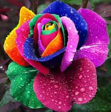 free shipping 100 seeds rare holland rainbow rose seed flowers