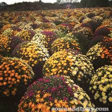 how to care for fall mums fall mums gardens and flowers