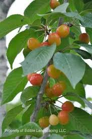 Cherry Tree Fruit - white gold sweet cherry edible landscaping