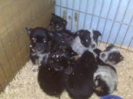 australian shepherd virginia australian shepherd puppies in virginia
