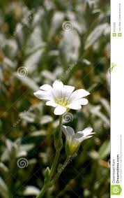 snow in summer blooming flower stock photo image 54313366