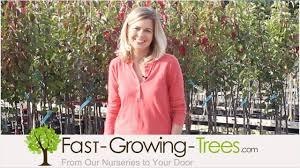 sassafras tree sale fast growing trees