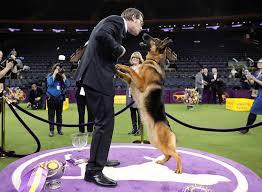 german shepherd best in show american kennel club breed facts julie jacobson ap rumor the german shepherd took home