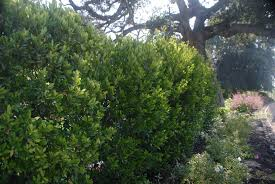 native plants for screening bright u0027n tight carolina laurel monrovia bright u0027n tight