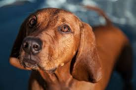 bluetick coonhound vs redbone coonhound redbone coonhound dog breed information american kennel club