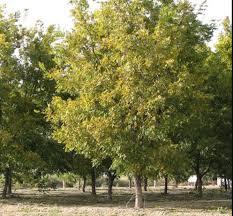 pecan trees for sale retail wholesale pecan nursery