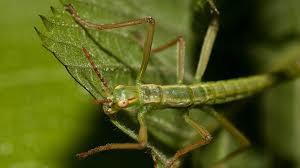 lord howe island stick insect san diego zoo animals u0026 plants