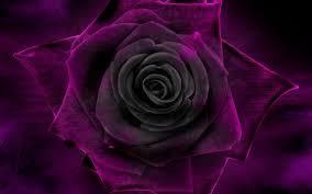 theme black rose flowers rose purple black velvet flower desktop themes download