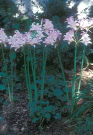 Late Blooming Perennials Late Summer And Fall Blooming Bulbs News