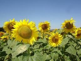 growing sunflowers how to add sunflowers to the garden