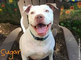 american pitbull terrier puppies for adoption bullboxer pit dogs for adoption in usa