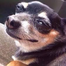 Annoyed Dog Meme - annoyed dog annoyeddoggy twitter