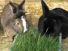 rabbits eat grass u2013 the rabbit house