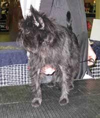 affenpinscher for sale canada affenpinscher puppies and breeders located in calgary alberta