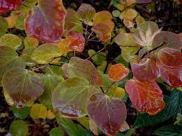 arbuste feuillage pourpre persistant quelques arbustes à feuillage d u0027automne remarquable arrosoirs et