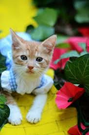 in costumes best 25 kittens in costumes ideas on kitten costumes