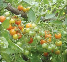 Bonnie Plants Patio Tomato Afc Cooperative Farming News How U0027s Your Garden