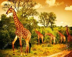 african safari animals image of a south african giraffes big family graze in the wild