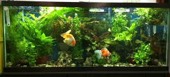 55 gallon aquarium light gorgeous 55 gallon goldfish tank fishy world pinterest