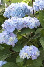 flower hydrangea blue enchantress hydrangea monrovia blue enchantress hydrangea