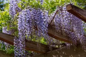 climbing flowers for trellis home design inspirations