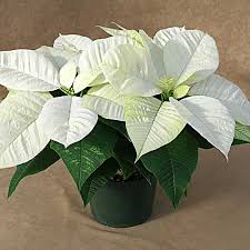 white poinsettia white poinsettia