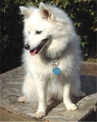 american eskimo dog odor american eskimo american eskimos breed