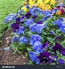 beautiful impatiens flowers summer garden stock photo 161411675