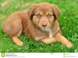 australian shepherd puppy training red tri color tricolor australian shepherd puppy aussie stock