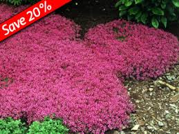 creeping thyme fragrant fast growing 1 ground cover