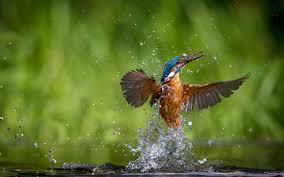 bird wallpaper beautiful kingfisher bird images free photos download