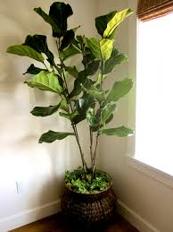 Fake Plants Home Depot Real Vs Artificial House Plants Classic U2022 Casual U2022 Home Shelly